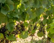 Reben Hauk Weinbauverband